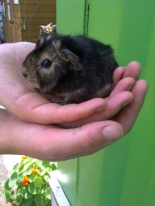 baby_guinea