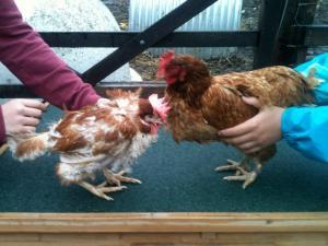 Two_ex_battery-hens_Stepney_City_Farm_London