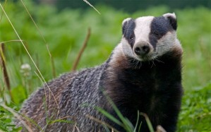 A_badger_not_the_giant_one_from_Folkestone_School_for _Girls