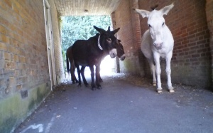donkeys_at_Brockenhurst_New_Forest